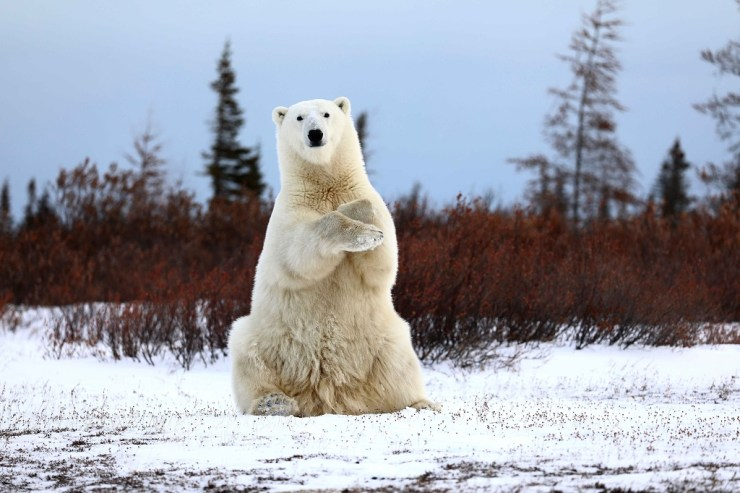 Polar bear greeting guests on the Great Ice Bear Adventure. Teresa McDaniel photo. 1st Place, Polar Bears, 2018 Churchill Wild Guest Photo Contest.