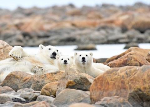 Polar bear & cubs_photo by Ian Johnson SR Aug 2016