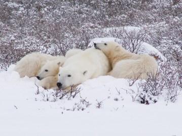 Polar bear family relaxing in snow at Dymond Lake Ecolodge. Churchill Wild. Graham Copping photo.