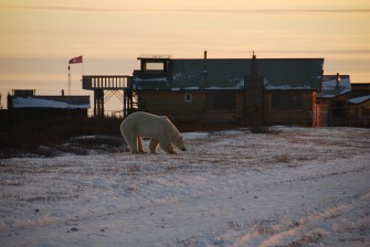 Polar bear smells something good at Dymond Lake.