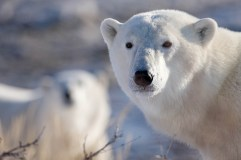 Polar bear closeup at Dymond Lake Ecolodge. Michael Poliza photo.