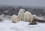 polar-bear-family-seal-river-steve-levi