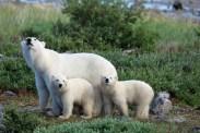 polarbearcubsmothersday5