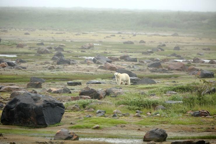 Polar bear in the mist at Seal River. Terry Elliott photo.