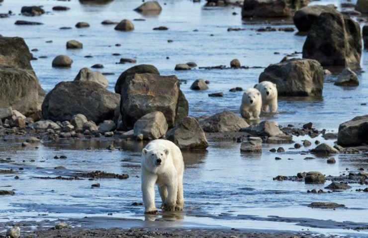 Mom and cubs on the move at Seal River. Michael Poliza photo.