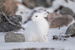 Questioning Arctic hare at Seal River Heritage Lodge. Nate Luebbe photo.