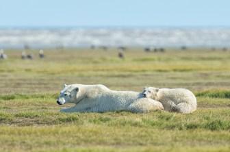 polar-bear-mom-cub-churchill-wild-nanuk-polar-bear-lodge-robert-postma