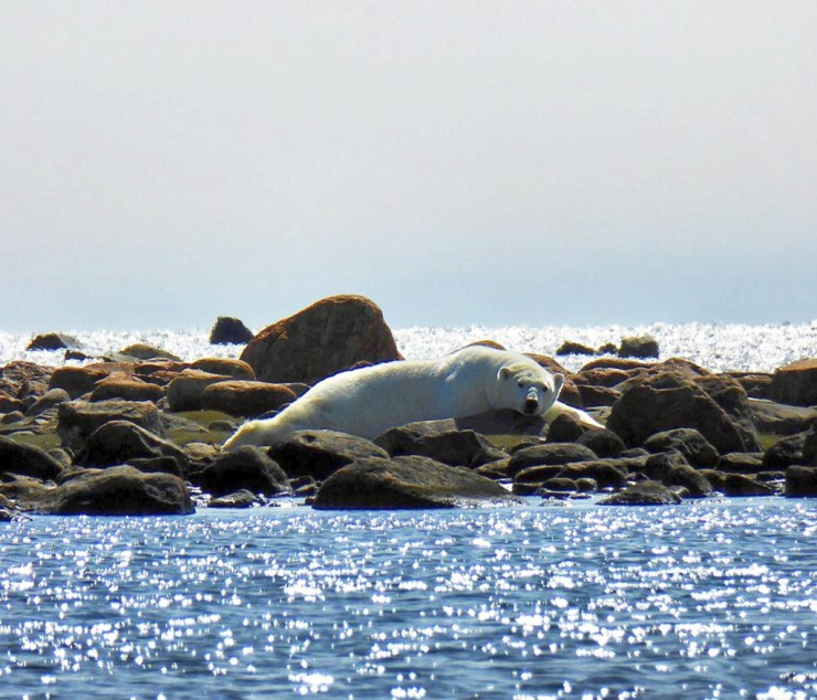 Polar bear relaxing on the rocks at Seal River. Camilla Taylor-Swift photo.
