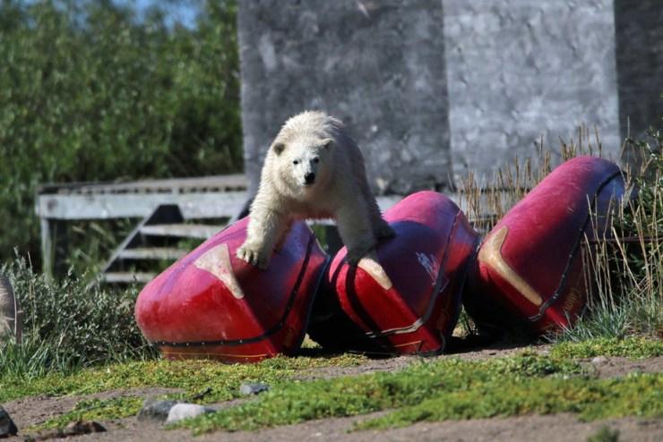 Curious polar bear cub on canoes at Seal River. Photo courtesy of Churchill Wild guest David Fox.
