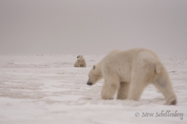 """""""We had days when there were 3-4 polar bears wandering around checking us out..."""" ~ Steve Schellenberg photo."""