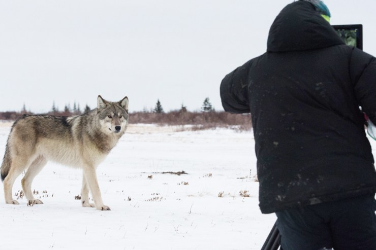 Filming a wolf at Nanuk Polar Bear Lodge. Steve Schellenberg photo.