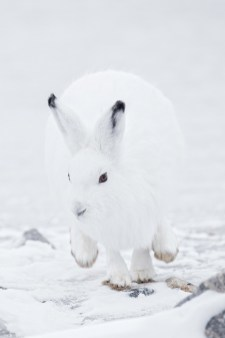 Arctic hare on the move at Seal River Heritage Lodge. Charles Glatzer photo.