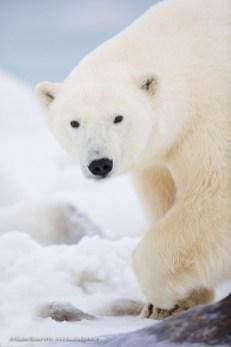polar-bear-closeup-seal-river-heritage-lodge-charles-glatzer