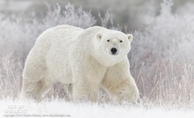 polarbearinsnowandwillowschurchillwildcharlesglatzer