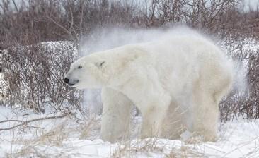 polarbearsnowshakenanukpolarbearlodgecharlesglatzer