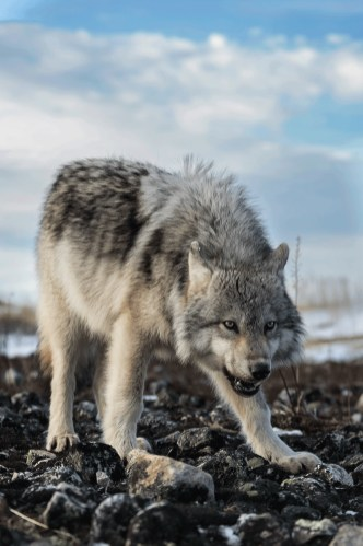 wolfsealriverheritagelodgecharlesglatzer