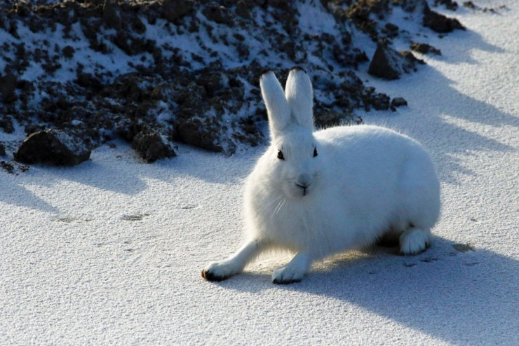 Arctic hare ready for action at Nanuk! Photo courtesy of guest Sally Mitchell-Wolf.