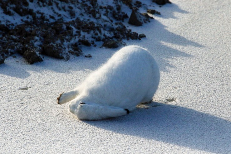 Maybe we'll go the other way. Arctic hare photo courtesy of guest Sally Mitchell-Wolf.