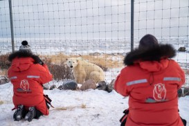 Polar bears at the compound fence. Seal River Heritage Lodge. Nate Luebbe photo.