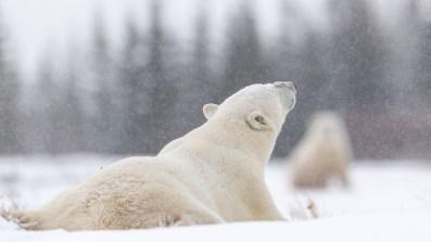 polar-bear-in-light-snow-nanuk-polar-bear-lodge-george-turner