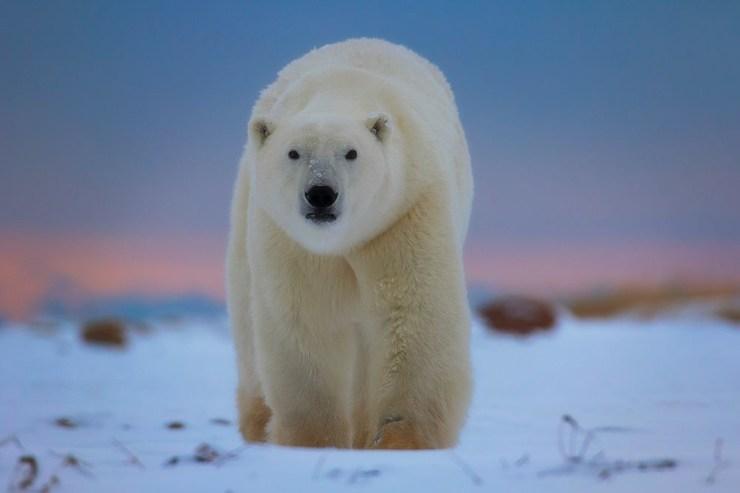 Polar bear in blue light. Seal River Heritage Lodge. Robert Postma photo.