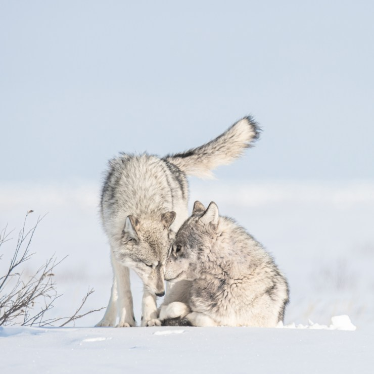 Romantic wolves at Nanuk Polar Bear Lodge. Jad Davenport photo.