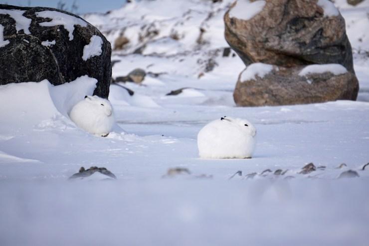 Arctic hares at Seal River. Vanessa Desorcy photo.