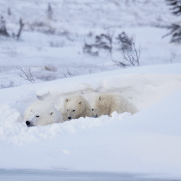 Polar bear family. Great Ice Bear Adventure. Dymond Lake Ecolodge. Eduard Planting photo.