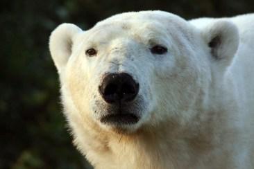 Read my mind... Polar bear closeup at Nanuk Polar Bear Lodge. Jessica McKelson photo.