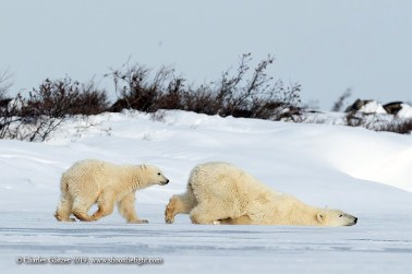 Polar bears slipping and sliding. Seal River Heritage Lodge. Charles Glatzer photo.