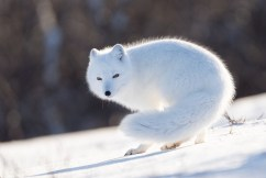 Arctic fox at Seal River.