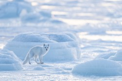 Artcic fox dressed in white.