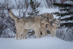 Wolf meeting at Nanuk.