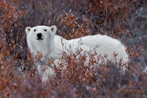 Polar bear in fall colours. Nanuk Polar Bear Lodge.