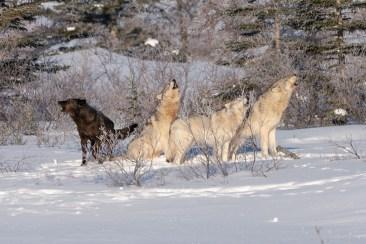 Wolves singing. Nanuk Polar Bear Lodge.