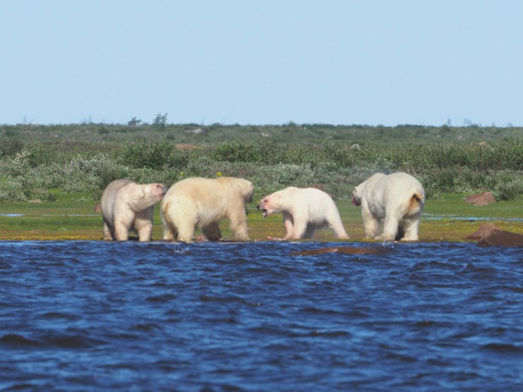 Polar bears arguing over beluga whale lunch at Seal River. Quent Plett photo.