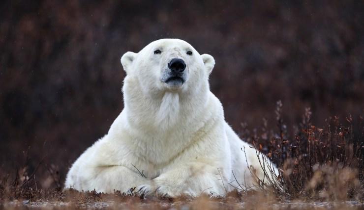 Regal polar bear. Nanuk Polar Bear Lodge. Sheree Jensen photo.