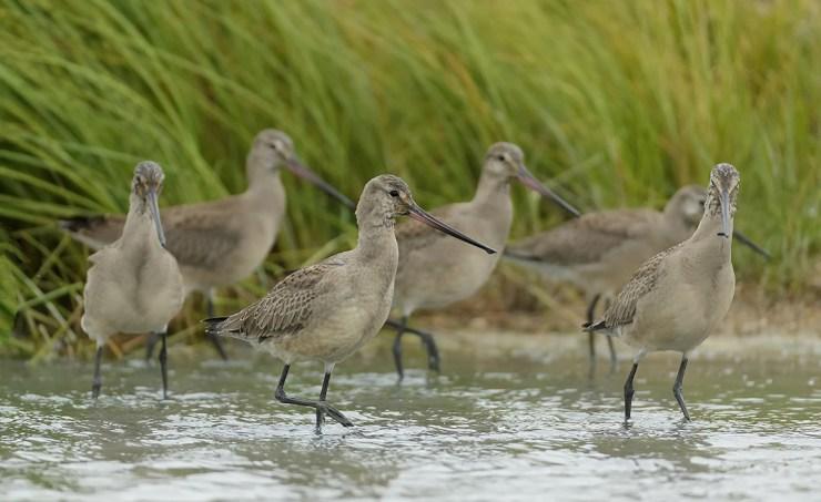 Hudsonian Godwits. The boreal forest is home for billions of birds. Charles Glatzer photo.