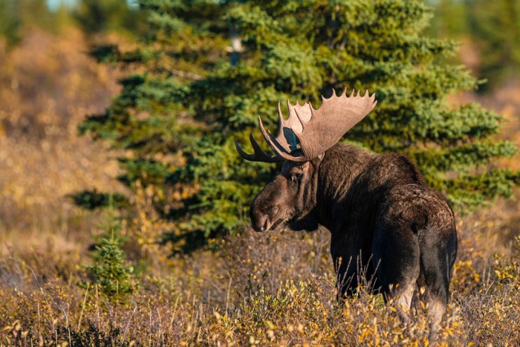 Moose on the edge of the boreal forest at Nanuk Polar Bear Lodge. Jad Davenport photo.