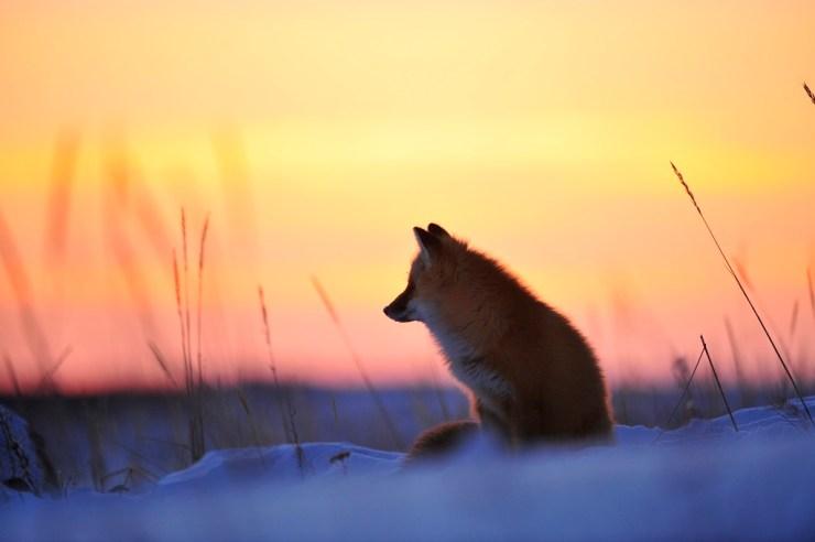 Red fox at sunset. Nanuk Polar Bear Lodge. Ian Johnson photo.