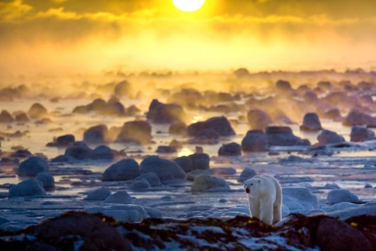 Polar bear crossing ice-covered rocks as the sun sets over Hudson Bay. Howard Sheridan photo.