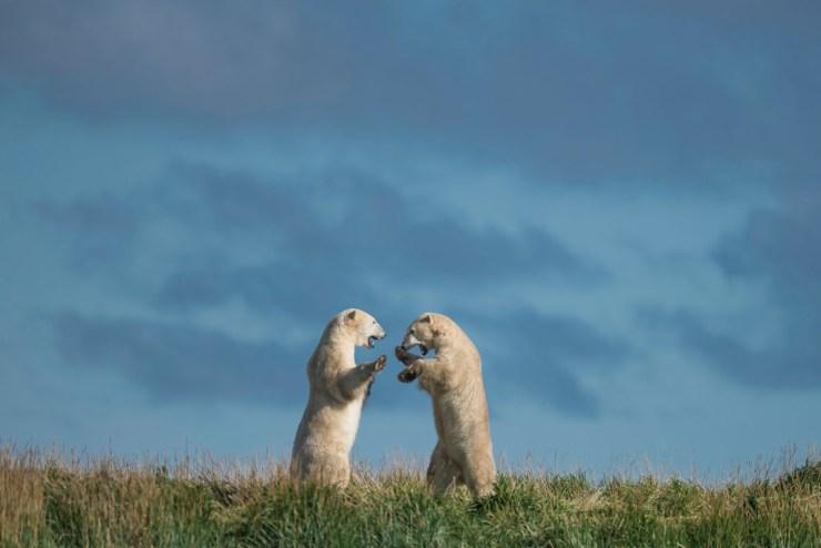 Summer polar bears sparring at Seal River Heritage Lodge. Jad Davenport photo.