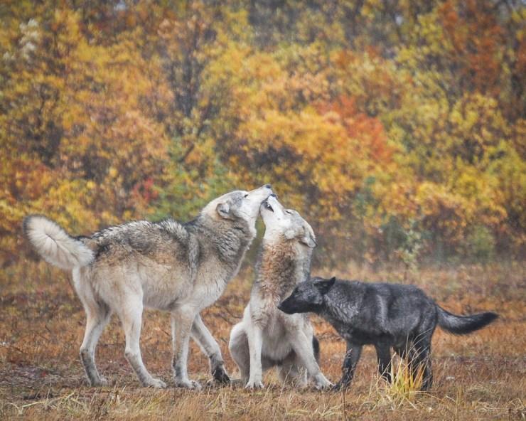 Wolves playing at Nanuk. Albert Saunders photo.