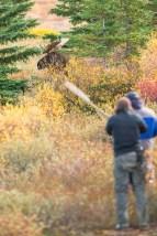 Moose meeting at Nanuk Polar Bear Lodge. Albert Saunders photo.