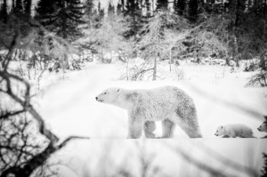 Polar bear mom and cubs at Nanuk Polar Bear Lodge. Albert Saunders photo.