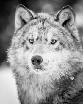 Wolf. Den Emergence Quest. Nanuk Polar Bear Lodge. Albert Saunders photo.
