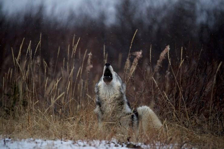 Wolf howling at Nanuk Polar Bear Lodge. Andy Skillen photo.