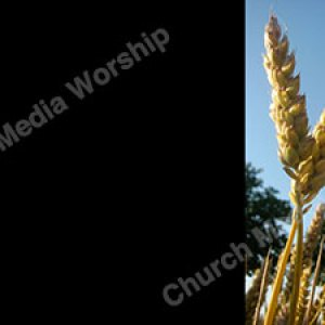 Wheat V6 Black Christian Worship Background. High quality worship images for use to spread the Gospel and enhance the worship experience.