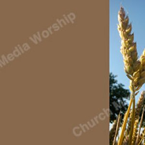 Wheat V6 Earth Christian Worship Background. High quality worship images for use to spread the Gospel and enhance the worship experience.