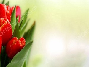 Red Tulips with waterdrops green matter Christian Worship Background. High quality worship images for use to spread the Gospel and enhance the worship experience.
